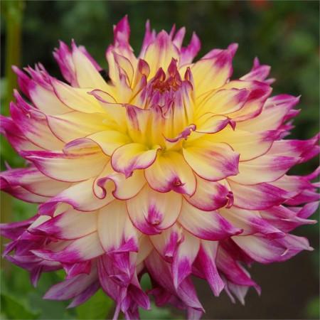 Dalie Zoey Rey (1 bulb), floare culoare galben cu roz, bulbi de flori
