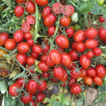Frassino F1 - 1000 sem - Seminte de rosii cu crestere determinata cu fructe uniforme productive de culoare rosie avand o greutate medie de 20-30 gr/fruct de la United Genetics