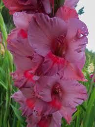 Gladiole Old Spice (7 bulbi), gladiole cu flori mari cu petale ondulate intr-o combinatie unica de portocaliu si violet-purpuriu, bulbi de flori