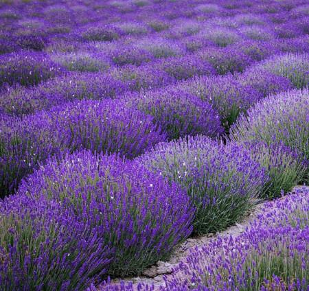 Lavanda (Levantica) 600 seminte de lavanda calitate superioara, Prima Sementi