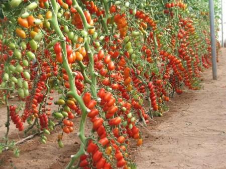 Lobello F1 - 500 sem - Seminte de rosii cherry crestere nedeterminata cu fructe alungite de culoare rosie ce rezista foarte bine la variatiile de temperatura productie timpurie si aroma remarcabila de la Esasem