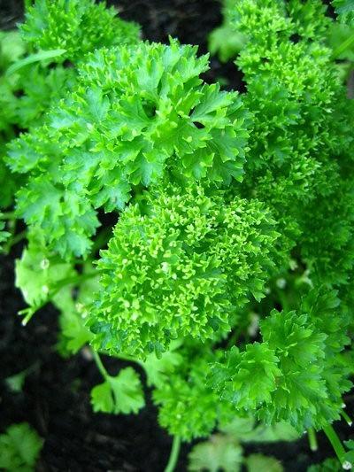 Moss Curled 2 - Petra - 50 grame - Seminte de patrunjel de frunza cu un gust si miros specific de la Bejo