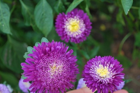 Ochiul Boului Albastru cu Alb 5 - Seminte Flori Ochiul Boului de la Florian