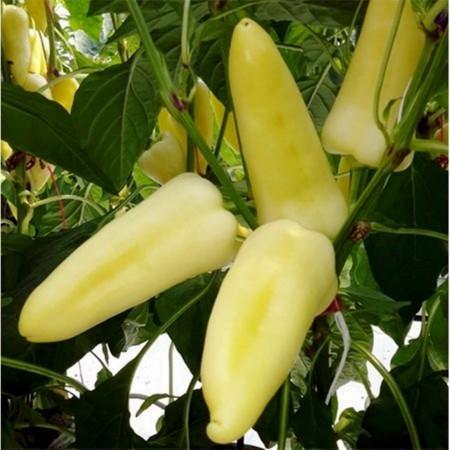 Reka F1 - 250 sem - Seminte de ardei conic cu crestere nedeterminata destinat culturii fortate avand fructele in poztie verticala forma aspectuasa albe si dulci de la Duna-R