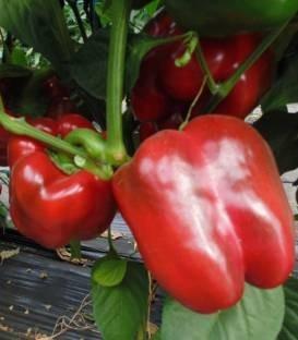 Remus F1 - 500 sem - Seminte de ardei gras cu fructe aspectuase dulci de culoare verde la inceput iar la maturitate rosu inchis ce prezinta rezultate bune si in ciclul prelungit de cultura de la Esasem