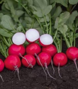 Roatan F1 (50.000 seminte) ridichi cu o perioada de vegetatie de 25 de zile, Bejo