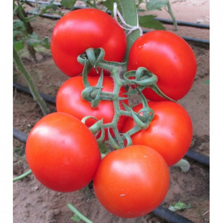 Rosii Ace 55 (1 kg), seminte de tomate mari, rezistente la transport si manipulare, Agrosem