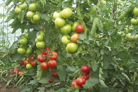 Rosii OPAL BG F1 - 10 gr - Seminte de tomate nedeterminate semitimpurii Gust excelent