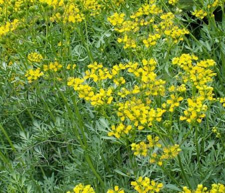 Ruta (0.3 gr) seminte planta medicinala cu flori galbene, decorativa, Agrosem