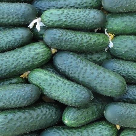Seminte castraveti SV 4097 CV F1 (250 seminte), tip cornichon, Seminis