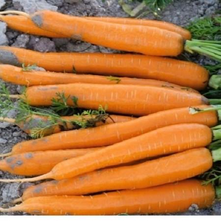 Seminte morcovi Carazzo F1 (100.000 seminte), tip Nantes, Seminis