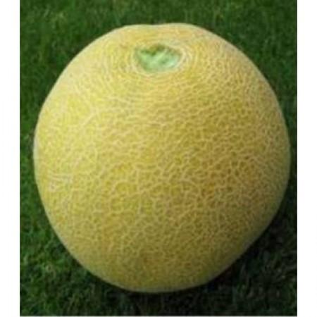 Seminte pepene galben Cory F1 (100 seminte), timpuriu, Seminis