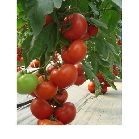 Seminte rosii Klass F1 (100 seminte), crestere nedeterminata, Seminis