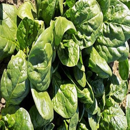 Seminte spanac Saga F1 (50.000 seminte), semitimpuriu, Hektar