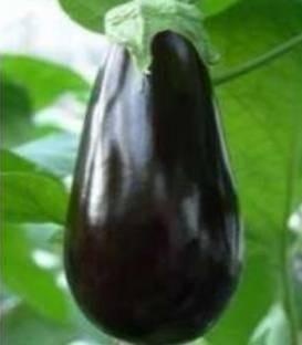 Seminte vinete Onyx F1 (1000 seminte), negru inchis si lucios, productivitate foarte ridicata, Fito Semillas