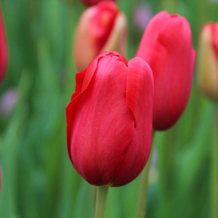 Sky High Scarlet (8 bulbi), lalele rosii, bulbi de flori