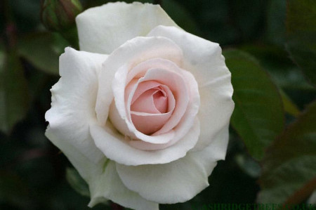 Trandafir catarator Swan Lake, butasi de trandafiri urcatori cu inflorire repetata, cu flori bogate, parfumate, intr-o nuanta fina de roz, Yurta