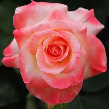 Trandafir Teahybrid Princesa, butasi de trandafiri cu flori mari, foarte parfumate, intr-o combinatie exceptionala de galben-crem si rosu-coral, Yurta