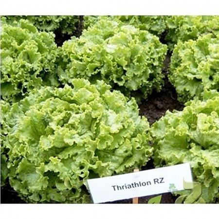 Triathlon - 1000 sem - Seminte drajate de salata pentru cultivarea pe perioada verii deoarece nu emite tija florala cu un foliaj crocant si foarte fin de la Rijk Zwaan