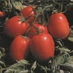 Unirex F1 - 1000 sem - Seminte de rosii crestere determinata productive ce se preteaza  la recoltarea mecanizata ajungand la o greutate de 85-90 de grame de la United Genetics