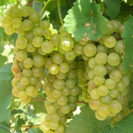 Vita de vie Feteasca Regala, butas de vita de vie soi cu boabe verzi-galbui, zemoase, potrivite pentru vinuri spumante, Yurta
