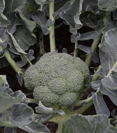 Batory F1 (2500 seminte) de brocoli verde inchis greutate intre 1 kg - 1.5 kg, Syngenta