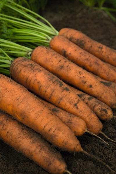 Belgrado F1 - 25.000 sem - Seminte de morcovi tip Berlicum ( calibru seminte < 2.0 mm) ce are o perioada de vegetatie de 110 zile de la semanare de la Bejo