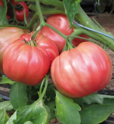 Belmonte F1 (20 seminte) tomate roze-violet hibrid cu crestere nedeterminata, Esasem