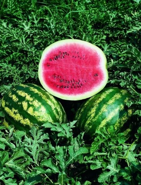 Crimson Sweet - 500 grame - Seminte de pepene verde miezul este rosu culoare verde dungata de la Clause