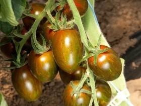 Crispino Plum F1 - 500 sem - Seminte de rosii cherry tip zebrata care se disting prin culoarea rosie/maronie intensa a fructelor forma ovaloida uniforma si un continut ridicat de dulceata de la Esasem