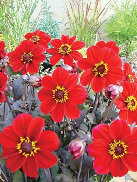 Dalie Happy Single Romeo (1 bulb), floare culoare rosu intens, bulbi de flori
