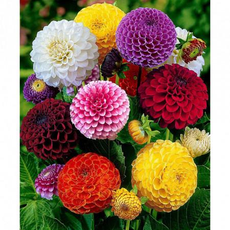 Dalie Pompon Mixed (3 bulbi), amestec, bulbi de flori