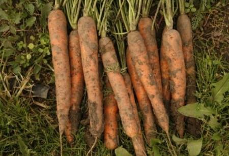 Fidra F1 - 25000 sem - Seminte de morcovi tip Nantes (calibru seminte 1.6 - 1.8) ce formeaza radacini mari , rezistent la emiterea tijei florale si un potential de productie ridicat de la Rijk Zwaan