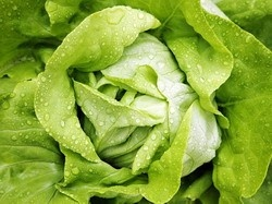 Ileana - 3 gr - Seminte de Salata Soi Romanesc Timpuriu de la 4 Agro