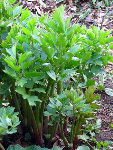 Leustean 0,7 g de Leustean Plante Aromatice de la Agrosel