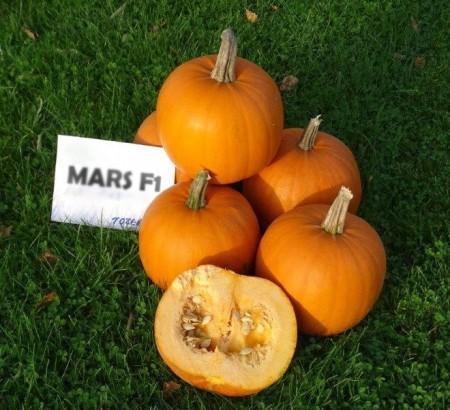 Mars F1 - 250 sem - Seminte de dovleac de Halloween Hibrid Profesional de la Tozer Seeds