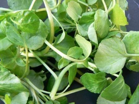 Nasturel - 0.3 gr - Seminte de Nasturel Planta Perena Nasturel de la Florian Bulgaria