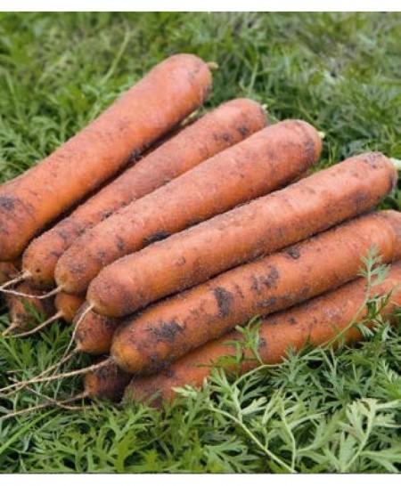 Nominator F1 - 25.000 sem - Seminte de morcovi orange (calibru seminte < 2 mm ) tip nantes ce produce radacini atractive cilindrice de la Bejo