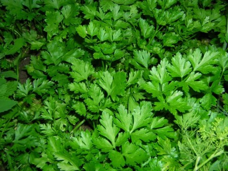 Novas Gigant Italian (1 kg) seminte de patrunjel ce prezinta rezistenta la frig de un verde intens si o aroma autentica de la Clause