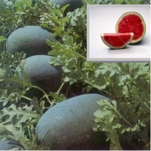 Odem F1 – 1000 sem – Seminte de pepeni verzi cu coaja neagra hibrid extratimpuriu tip Sugar Baby