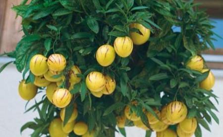Pepino (4 seminte) fructe galbene cu dungi violet bogate in fibre si vitamina C, Agrosem