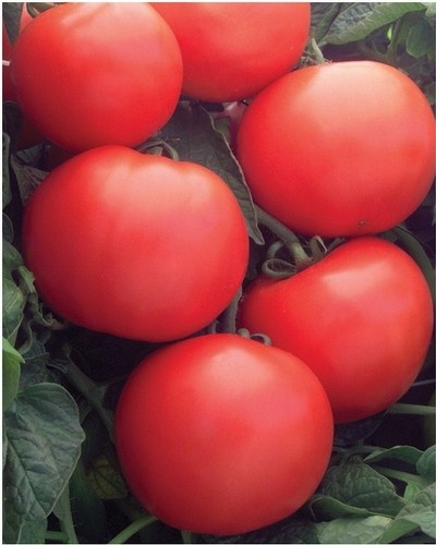 PONTICA - 0.5 gr - Seminte Tomate PONTICA (fost Dacia) de Vara-Toamna de la Mefim Agro
