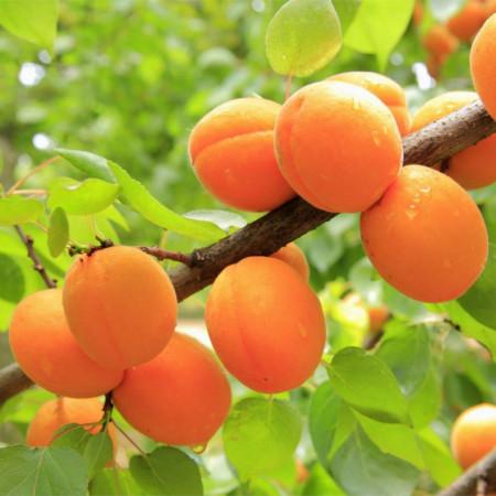 Puiet de cais Early Orange, pom fructifer cais cu fructe de culoare portocaliu inchis, zemoase, cu gust delicios, Yurta