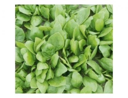 Rembour F1 - 5000 sem - Seminte de spanac cu o perioada de vegetatie de 47 zile excelent pentru temperaturi inalte de vara de la Bejo