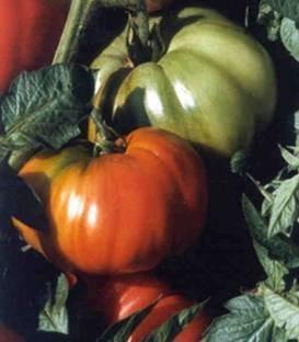 Rhodia F1 - 100 sem - Seminte de rosii ideale pentru orice gradina acestea putand fi cultivate chiar si pe arac cu pulpa gustoasa si dulce neavand capac verde de la Isi Sementi