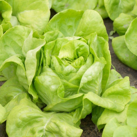 Salata White Boston (2 g) seminte de salata capatana cu frunze netede, Prima Sementi