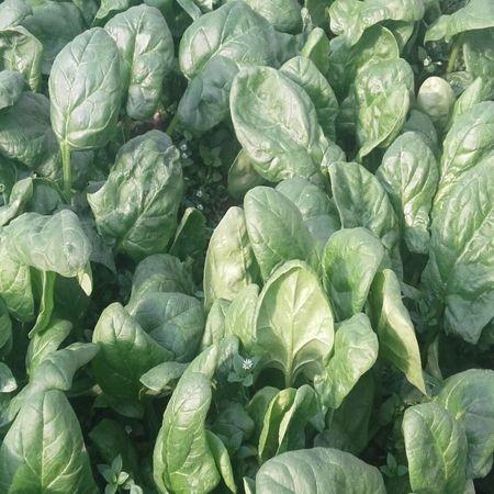 Samos F1 - 1 kg - Seminte de spanac de culoare verde inchis ce prezinta o toleranta buna la frig recomandat semanarilor din toamna si iarna de la Clause