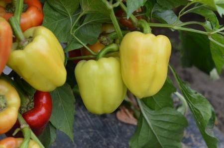 Seminte ardei gras Daciana F1 (500 seminte), timpuriu, Hektar