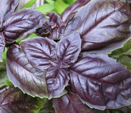 Seminte Busuioc ROSU Dark (1 gr), Seminte de Busuioc Rosu Violet Mov, Florian
