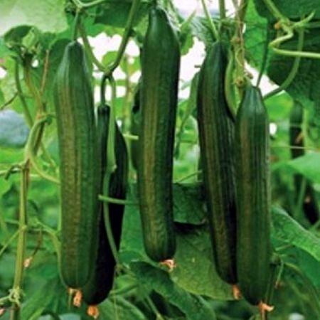 Seminte castraveti Ceres F1 (100 seminte), productii mari, De Ruiter Seeds